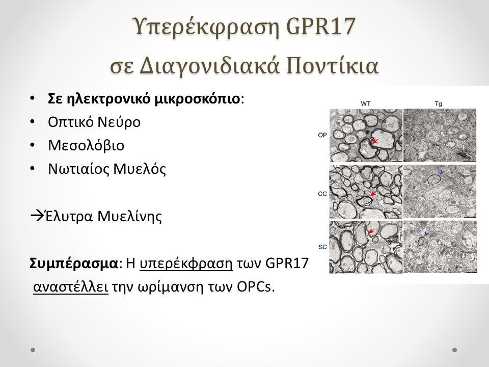 Υπερέκφραση GPR17 σε Διαγονιδιακά Ποντίκια
