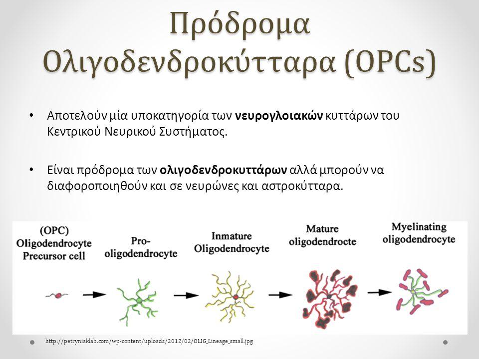Πρόδρομα Ολιγοδενδροκύτταρα (OPCs)