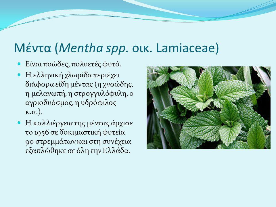 Μέντα (Mentha spp. οικ. Lamiaceae)