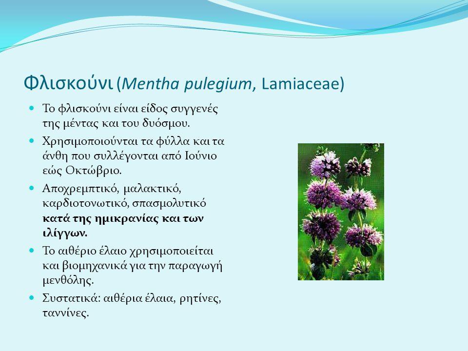 Φλισκούνι (Mentha pulegium, Lamiaceae)
