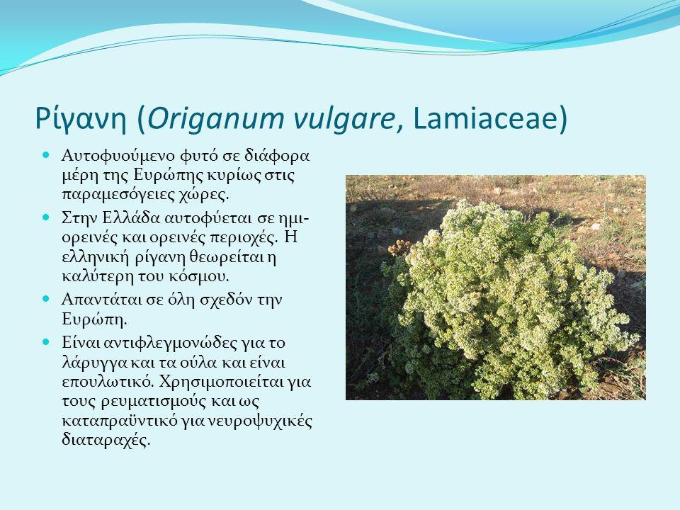 Ρίγανη (Origanum vulgare, Lamiaceae)