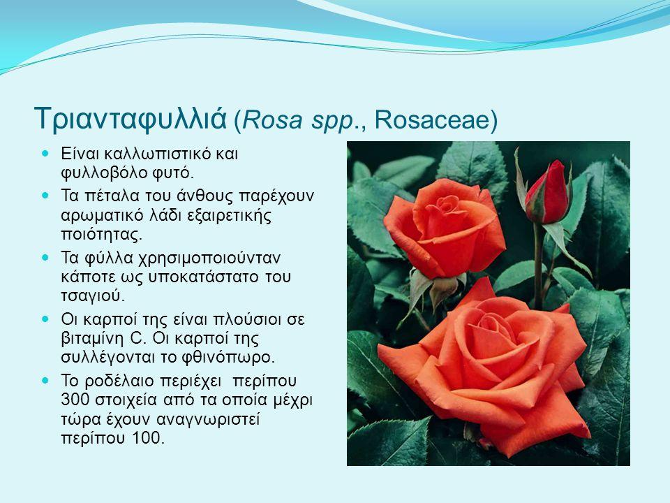 Τριανταφυλλιά (Rosa spp., Rosaceae)