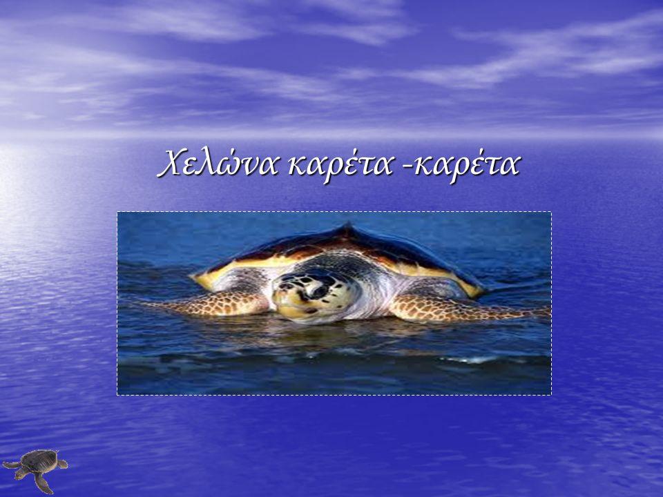 Χελώνα καρέτα -καρέτα