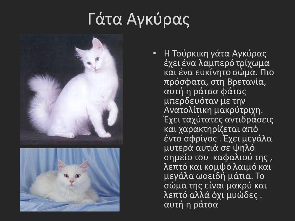 Γάτα Αγκύρας