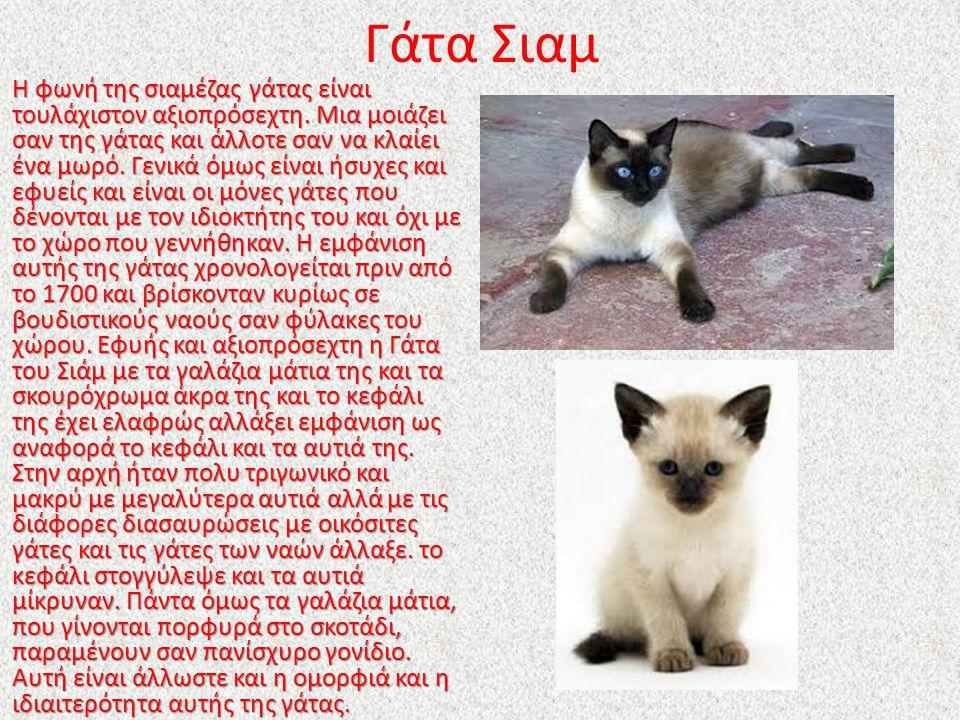 Γάτα Σιαμ