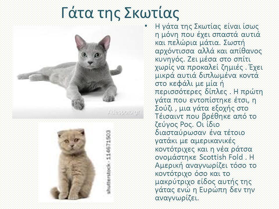 Γάτα της Σκωτίας