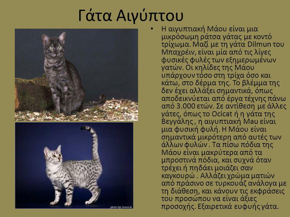 Γάτα Αιγύπτου