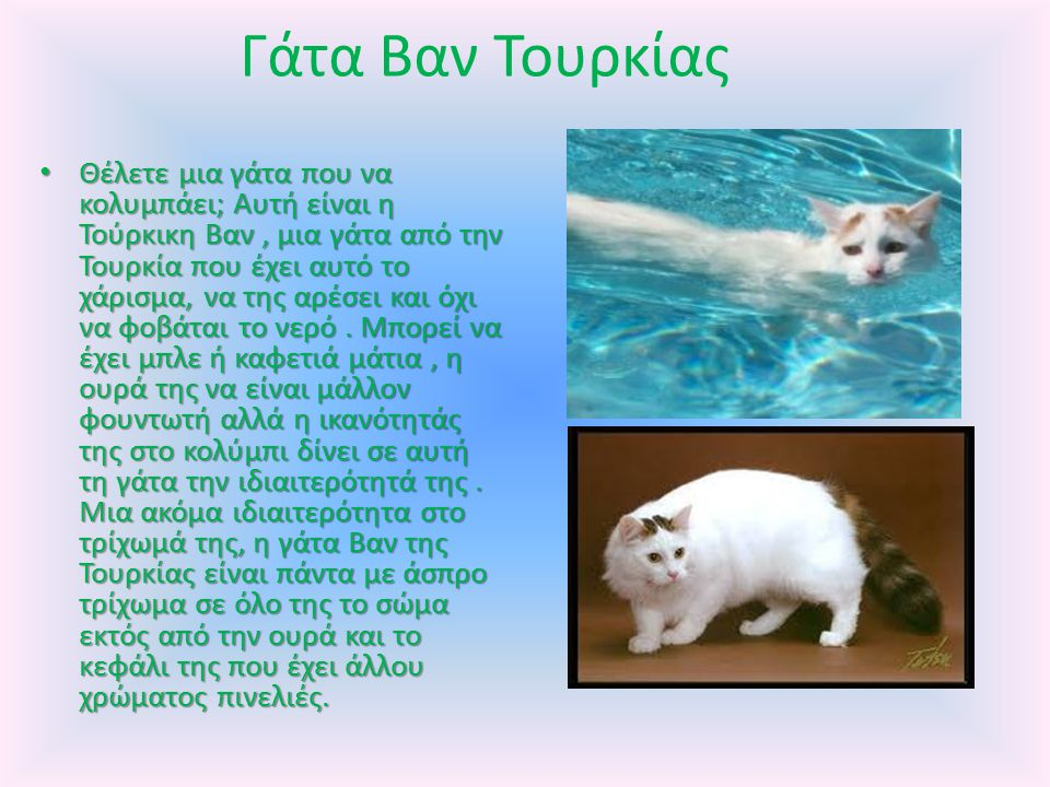 Γάτα Βαν Τουρκίας