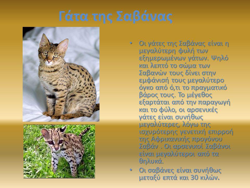 Γάτα της Σαβάνας