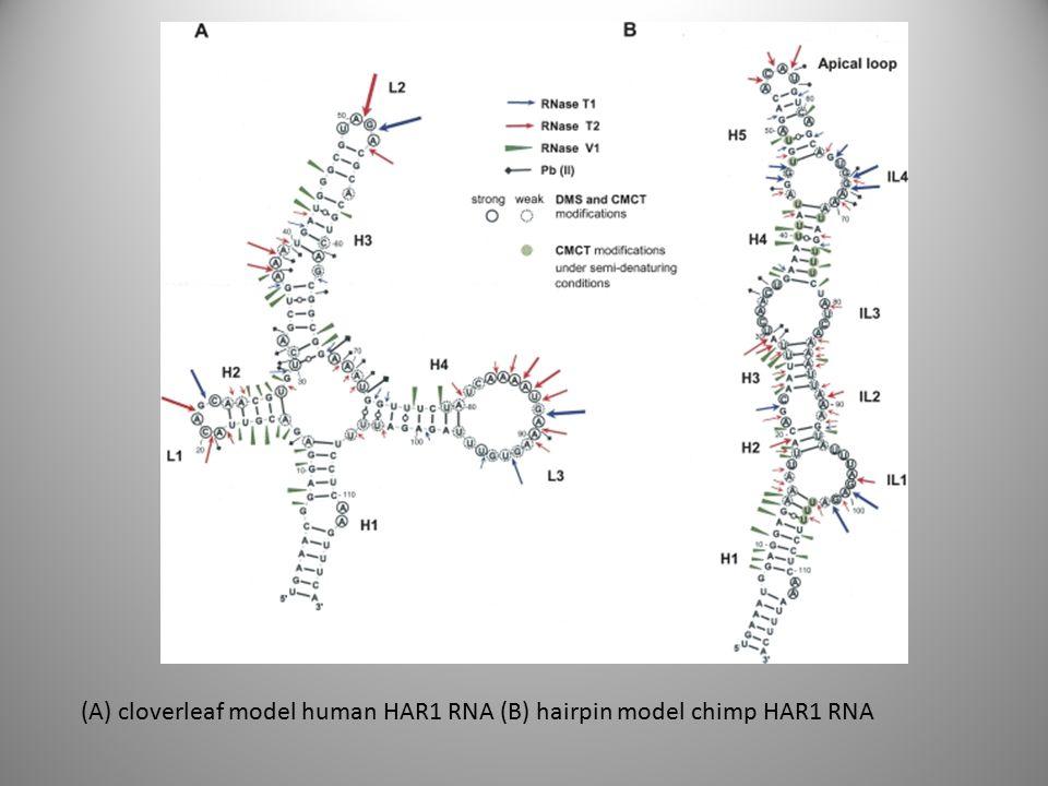 (Α) cloverleaf model human HAR1 RNA (B) hairpin model chimp HAR1 RNA
