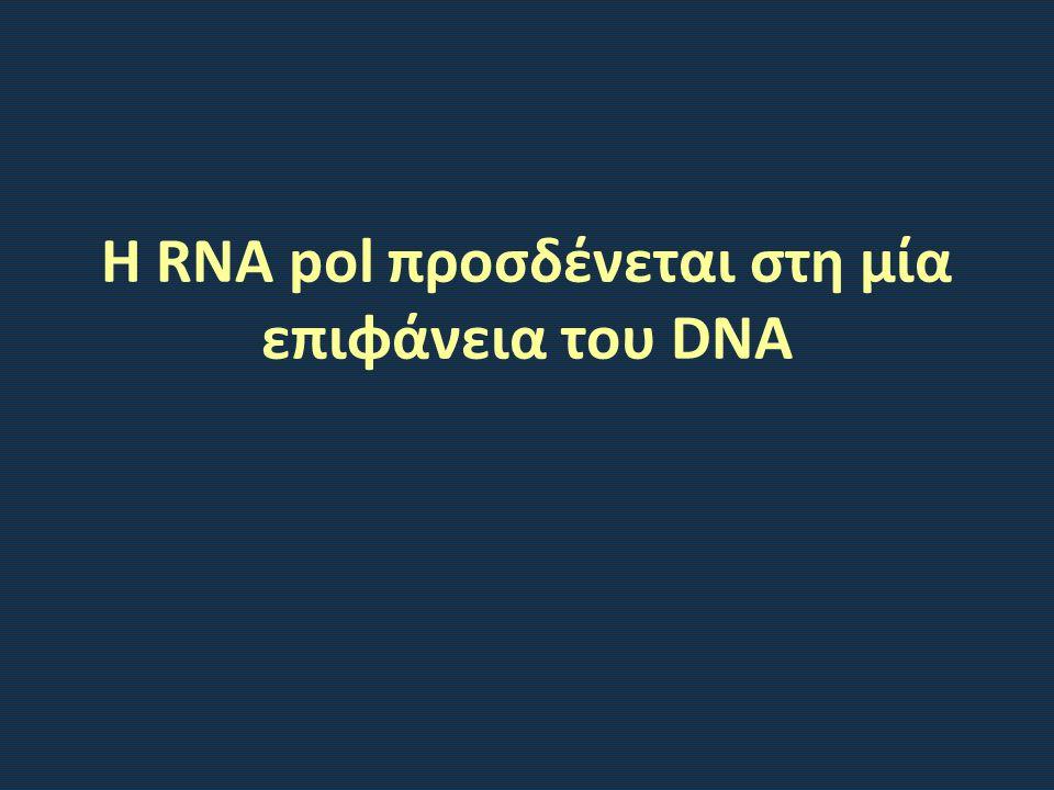 Η RNA pol προσδένεται στη μία επιφάνεια του DNA