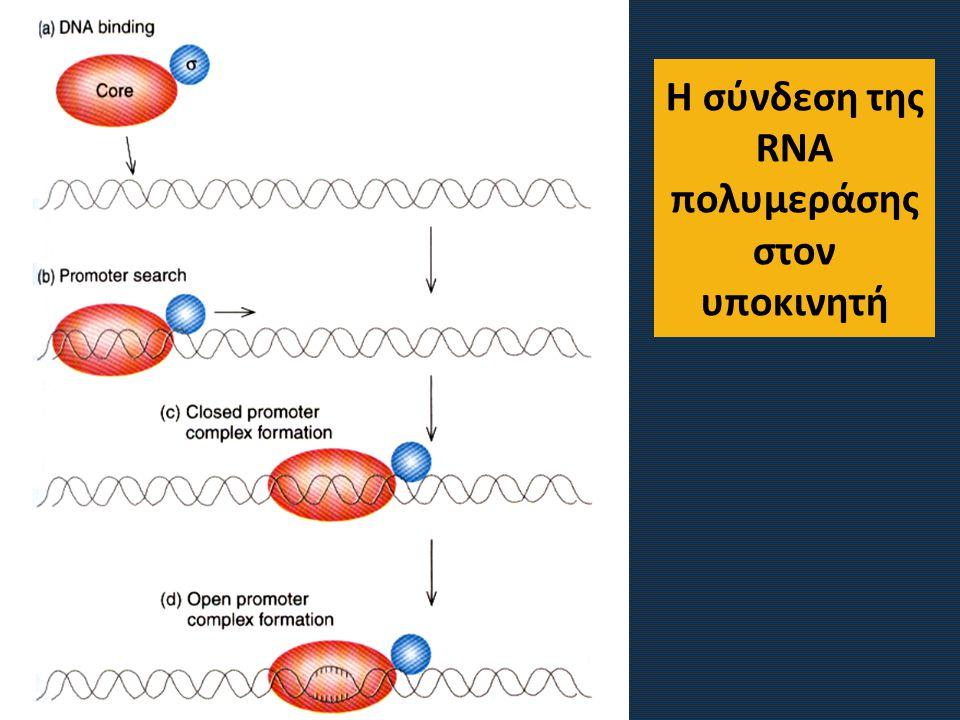 Η σύνδεση της RNA πολυμεράσης στον υποκινητή