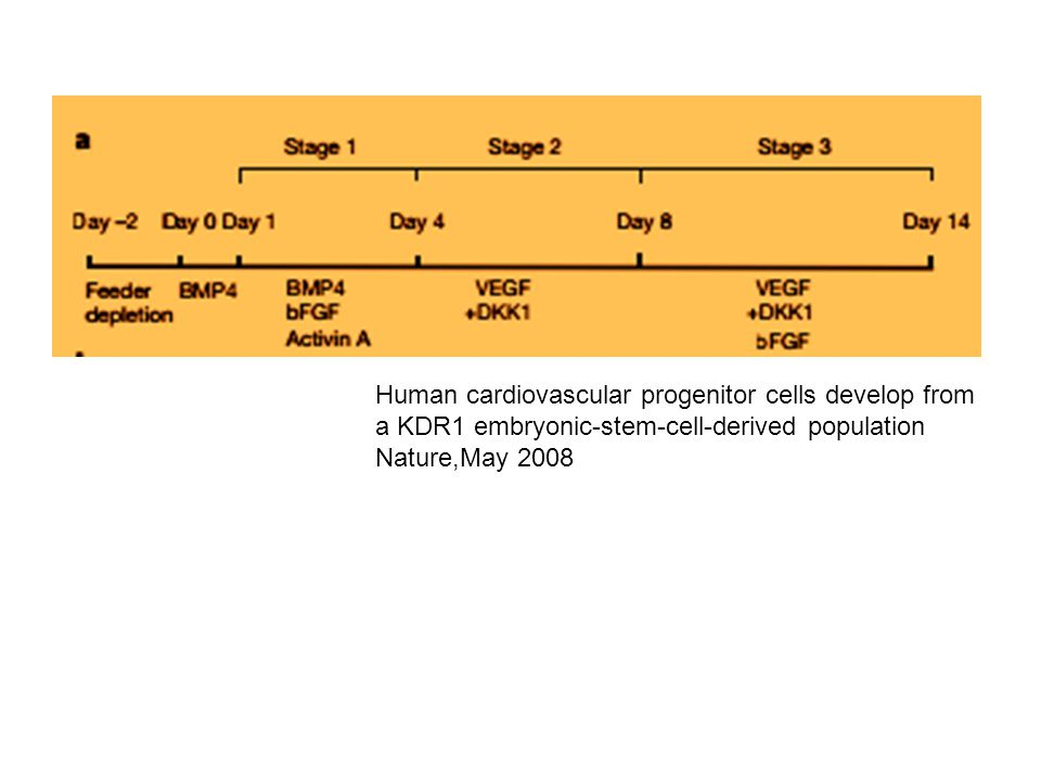 Human cardiovascular progenitor cells develop from