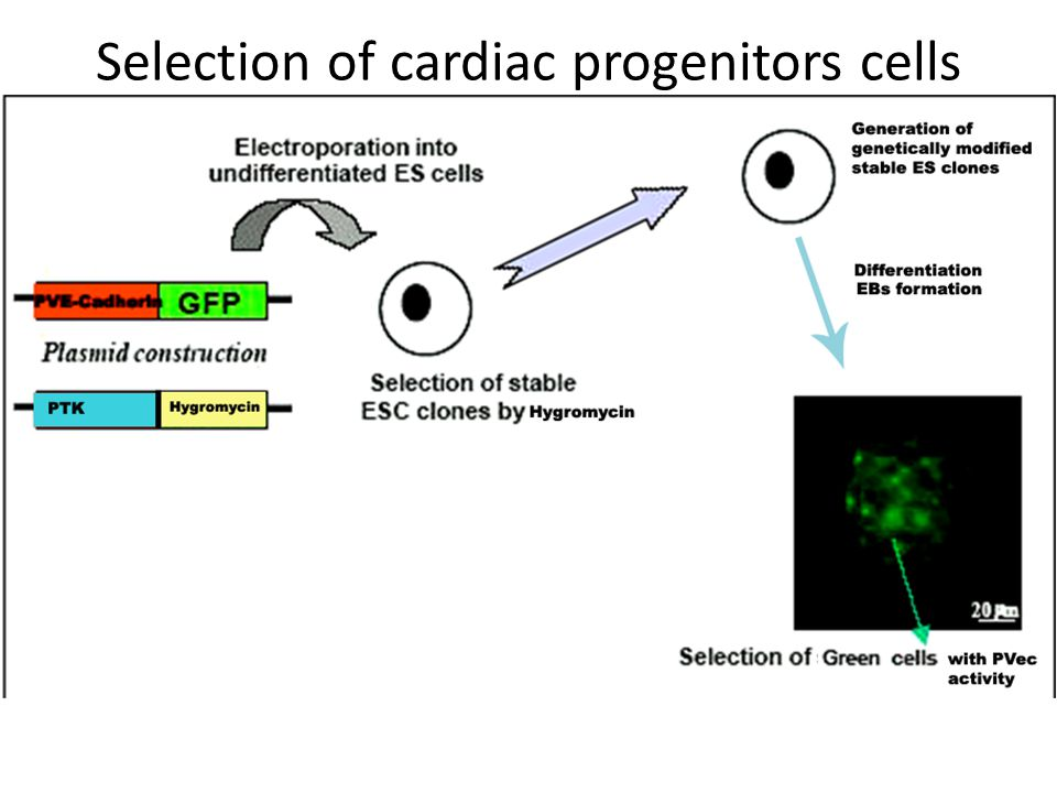 Selection of cardiac progenitors cells