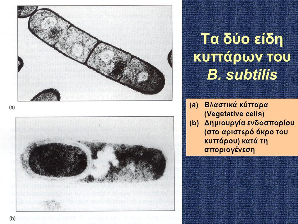 Τα δύο είδη κυττάρων του B. subtilis