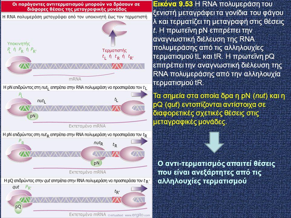 Εικόνα 9.53 Η RNA πολυμεράση του ξενιστή μεταγράφει τα γονίδια του φάγου λ και τερματίζει τη μεταγραφή στις θέσεις t. Η πρωτεΐνη pN επιτρέπει την αναγνωστική διέλευση της RNA πολυμεράσης από τις αλληλουχίες τερματισμού tL και tR. Η πρωτεΐνη pQ επιτρέπει την αναγνωστική διέλευση της RNA πολυμεράσης από την αλληλουχία τερματισμού tR.