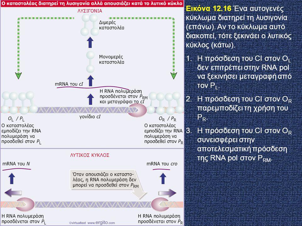 Εικόνα 12. 16 Ένα αυτογενές κύκλωμα διατηρεί τη λυσιγονία (επάνω)