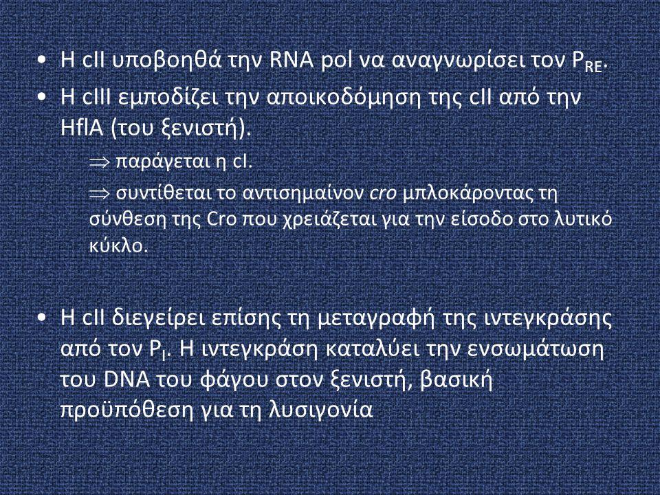 H cII υποβοηθά την RNA pol να αναγνωρίσει τον PRE.