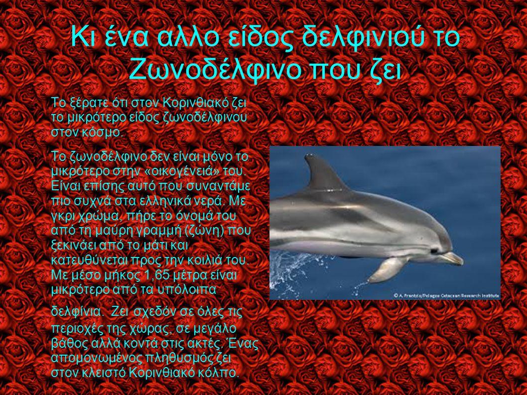 Κι ένα αλλο είδος δελφινιού το Ζωνοδέλφινο που ζει