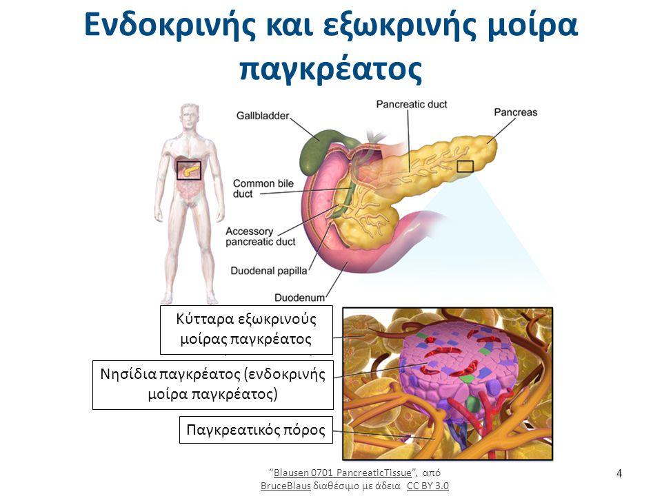 Εξωκρινής μοίρα (95%) Παγκρεατικός πόρος Αδενοκυψέλες