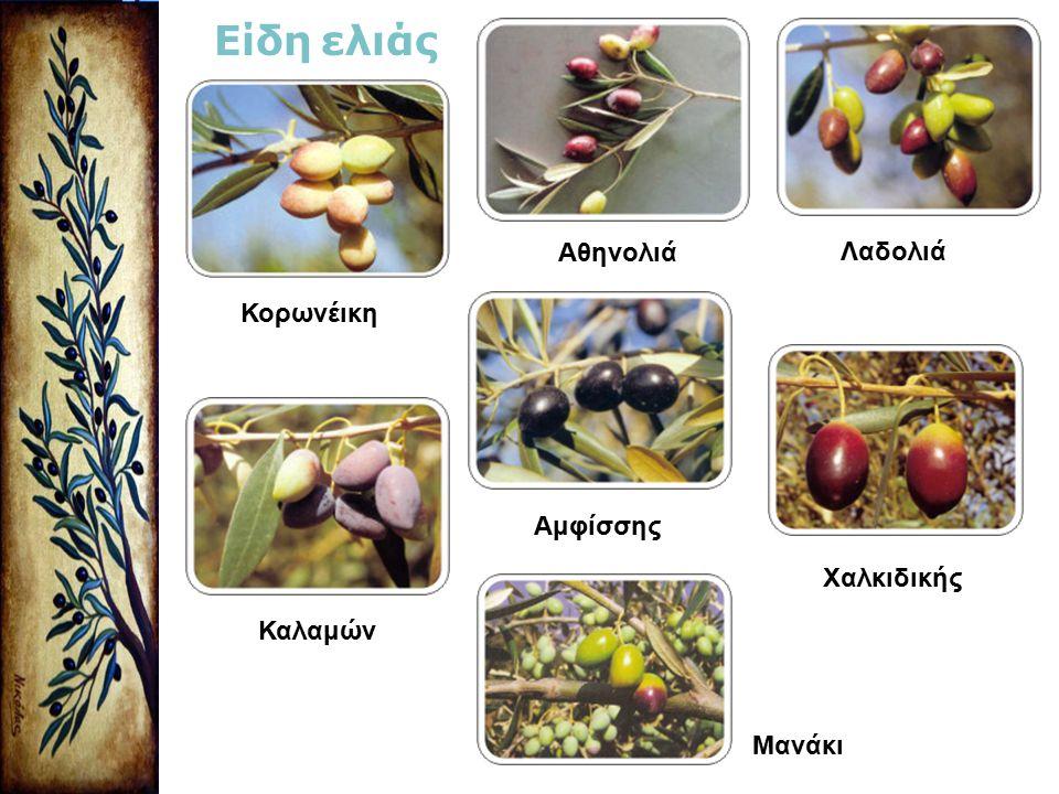 Είδη ελιάς Αθηνολιά Λαδολιά Κορωνέικη Αμφίσσης Χαλκιδικής Καλαμών