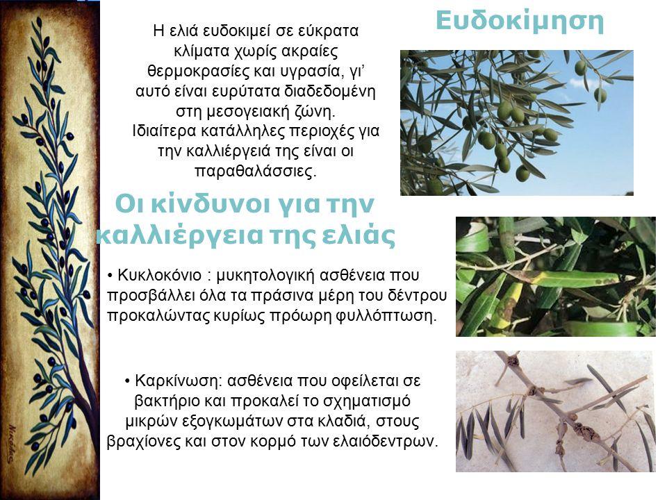 Οι κίνδυνοι για την καλλιέργεια της ελιάς