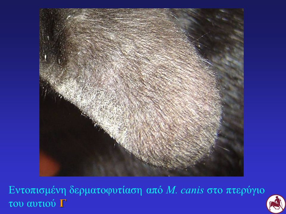 Εντοπισμένη δερματοφυτίαση από M. canis στο πτερύγιο του αυτιού Γ