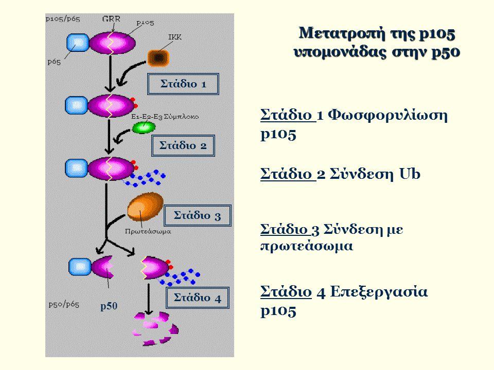 Μετατροπή της p105 υπομονάδας στην p50