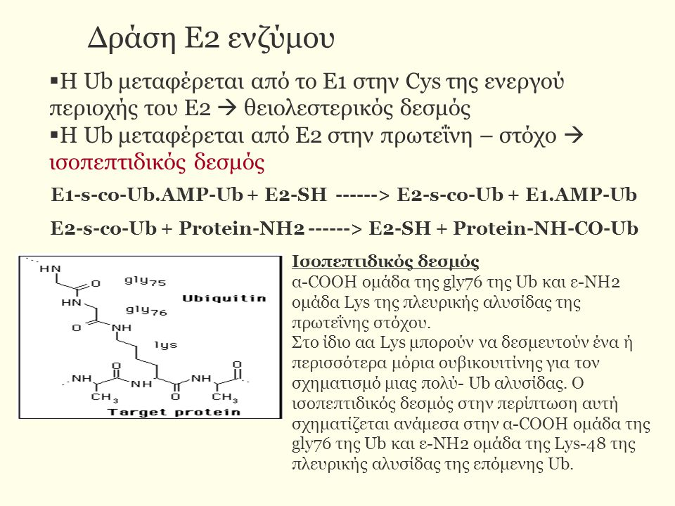 E2-s-co-Ub + Protein-NH2 ------> E2-SH + Protein-NH-CO-Ub