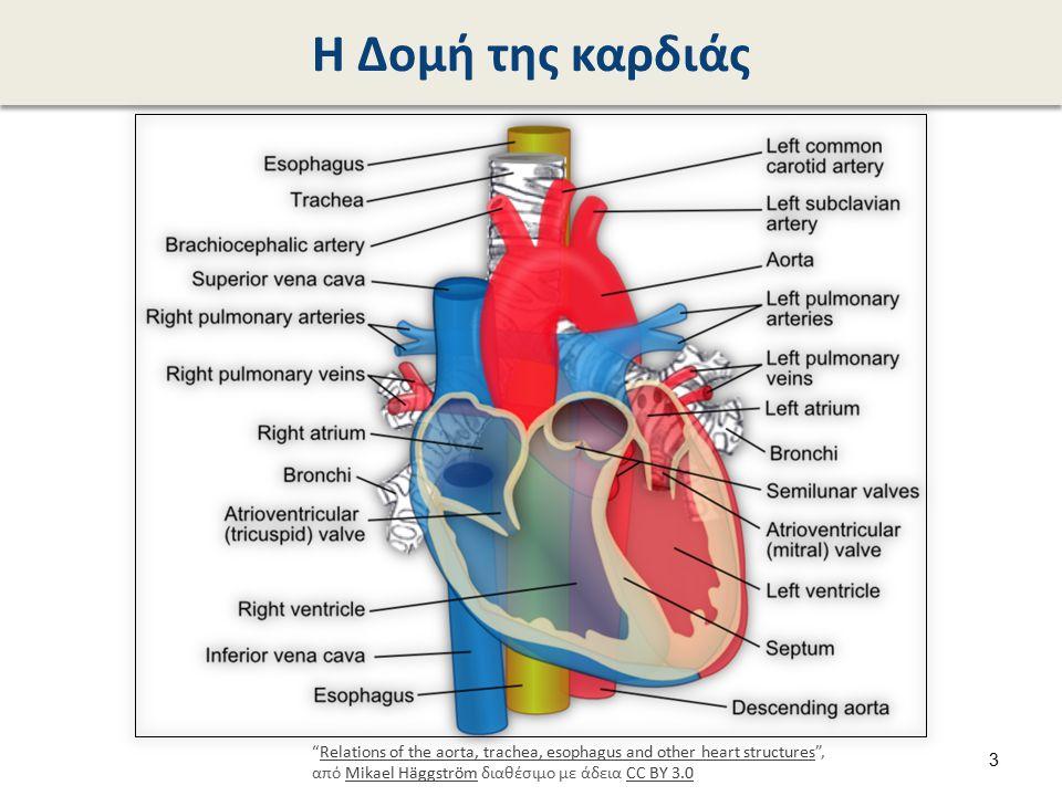 Ανατομία της καρδιάς Blausen 0457 Heart SectionalAnatomy , από Dcoetzee διαθέσιμο με άδεια CC BY 3.0.