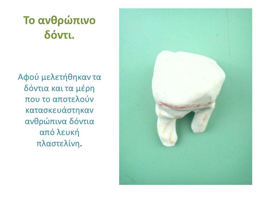 Το ανθρώπινο δόντι.