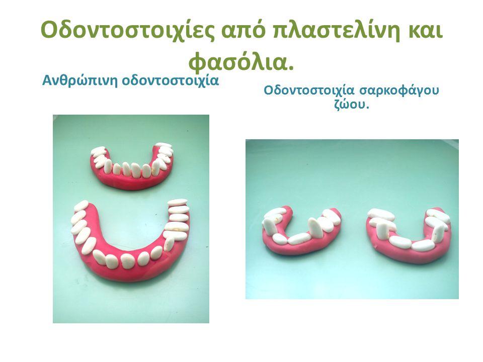 Οδοντοστοιχίες από πλαστελίνη και φασόλια.