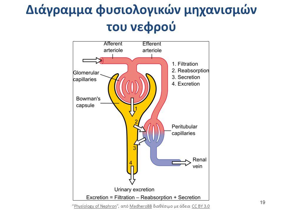 Μονάδα του νεφρού-Νεφρώνας