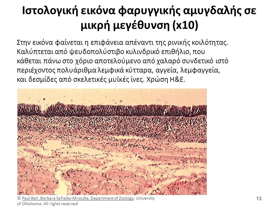 Ιστολογική εικόνα οσφρητικού βλεννογόνου ρινός (1/2)