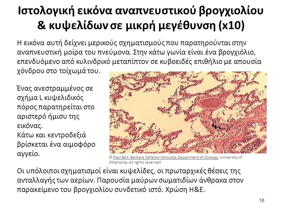 Ιστολογική εικόνα κυψελιδικού πόρου αναπνευστικού βρογχιολίου πνεύμονα σε μεσαία μεγέθυνση (x 20) 1/2
