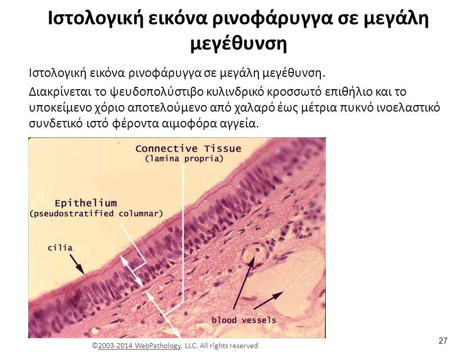 Ιστολογική εικόνα βλεννογόνου ρινοφάρυγγα σε μεγάλη μεγέθυνση