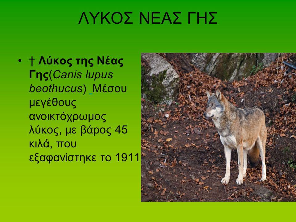 ΛΥΚΟΣ ΝΕΑΣ ΓΗΣ † Λύκος της Νέας Γης(Canis lupus beothucus) Μέσου μεγέθους ανοικτόχρωμος λύκος, με βάρος 45 κιλά, που εξαφανίστηκε το 1911.