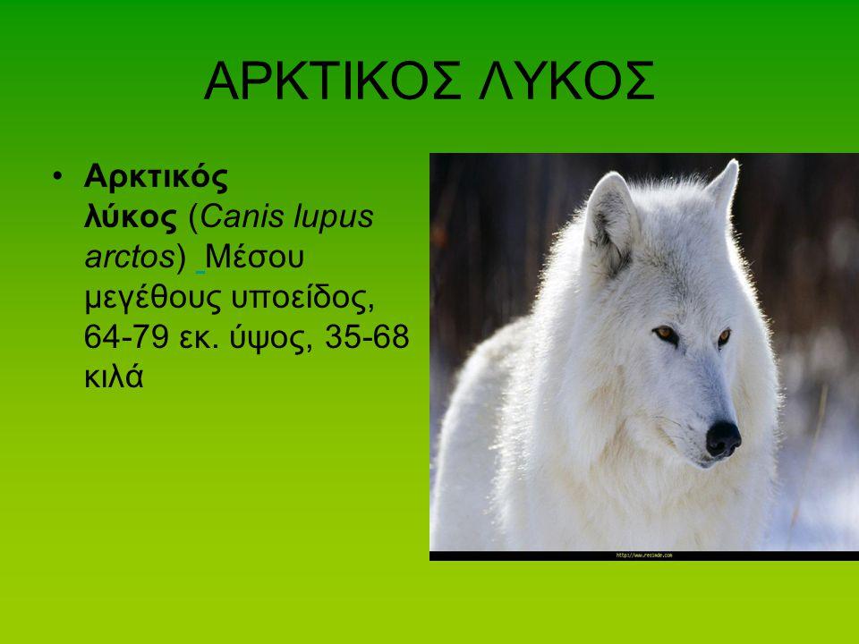 ΑΡΚΤΙΚΟΣ ΛΥΚΟΣ Αρκτικός λύκος (Canis lupus arctos) Μέσου μεγέθους υποείδος, 64-79 εκ. ύψος, 35-68 κιλά.