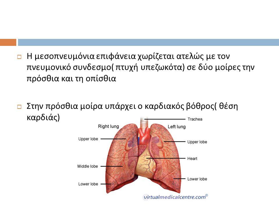 Η μεσοπνευμόνια επιφάνεια χωρίζεται ατελώς με τον πνευμονικό συνδεσμο( πτυχή υπεζωκότα) σε δύο μοίρες την πρόσθια και τη οπίσθια