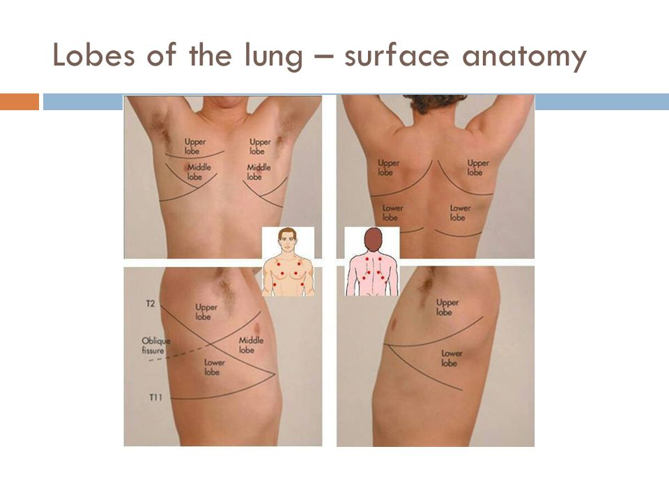 Lobes of the lung – surface anatomy