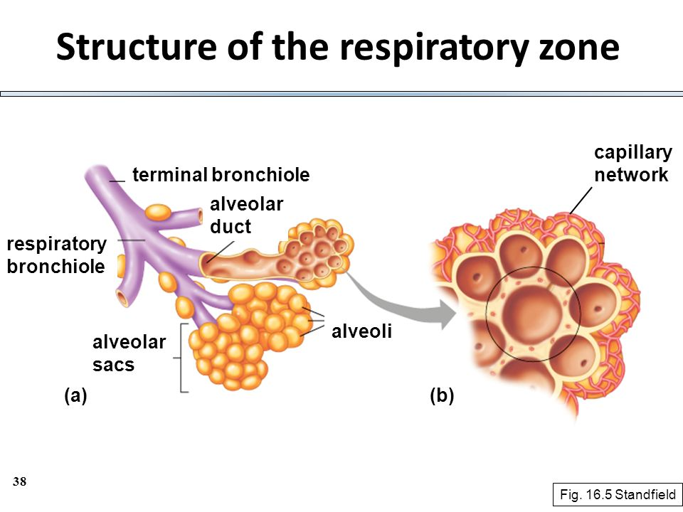 Structure of the respiratory zone