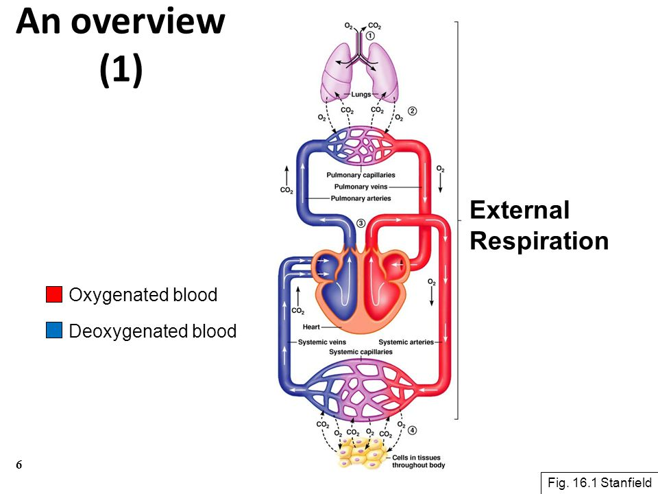 An overview (1) External Respiration Oxygenated blood