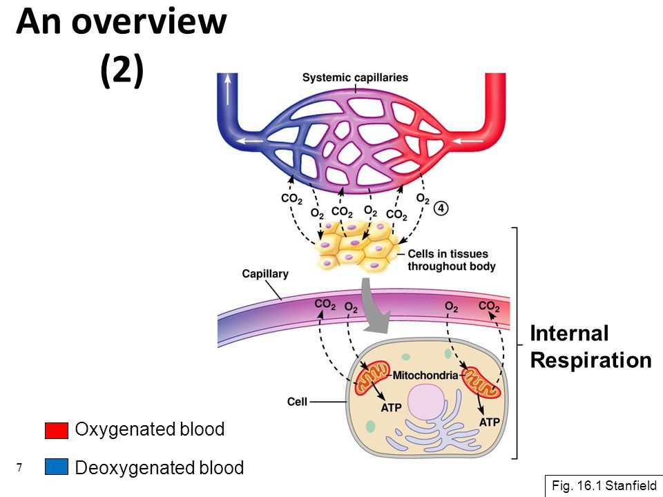 An overview (2) Internal Respiration Oxygenated blood