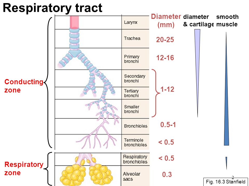 Respiratory tract Diameter (mm) 20-25 12-16 Conducting zone 1-12 0.5-1