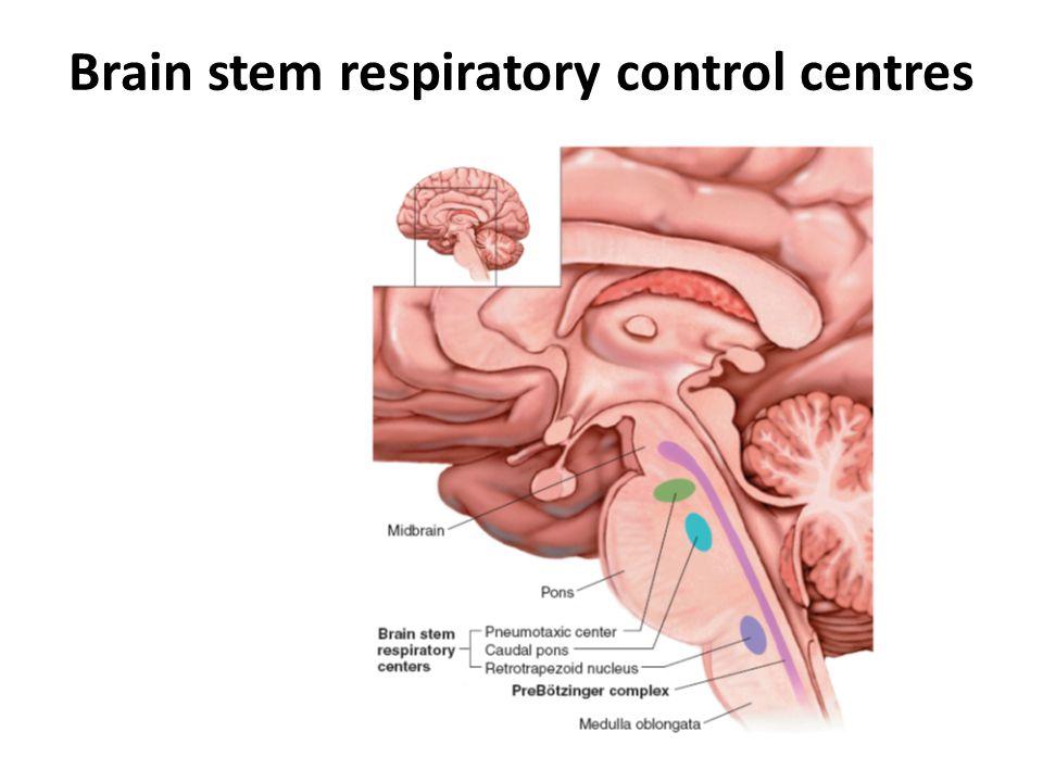 Brain stem respiratory control centres