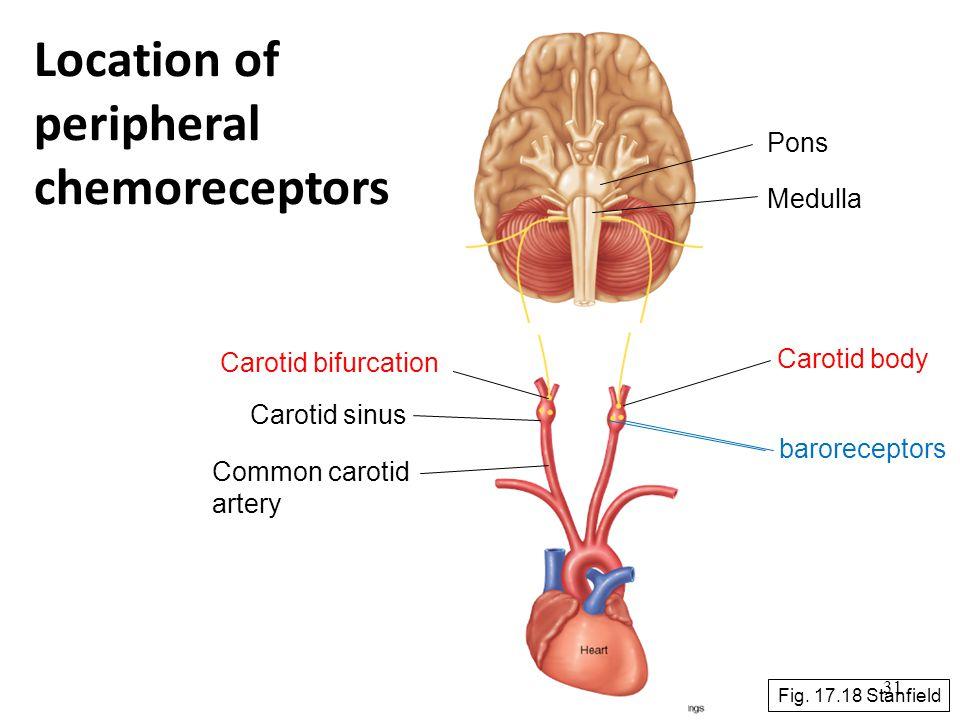 Location of peripheral chemoreceptors Pons Medulla Carotid body