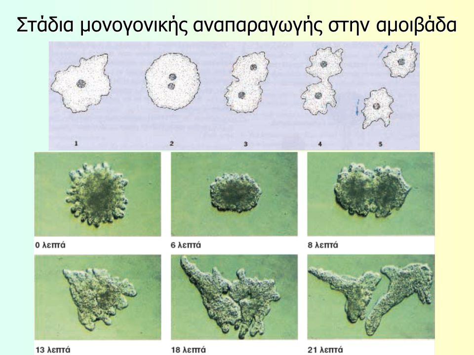 Στάδια μονογονικής αναπαραγωγής στην αμοιβάδα