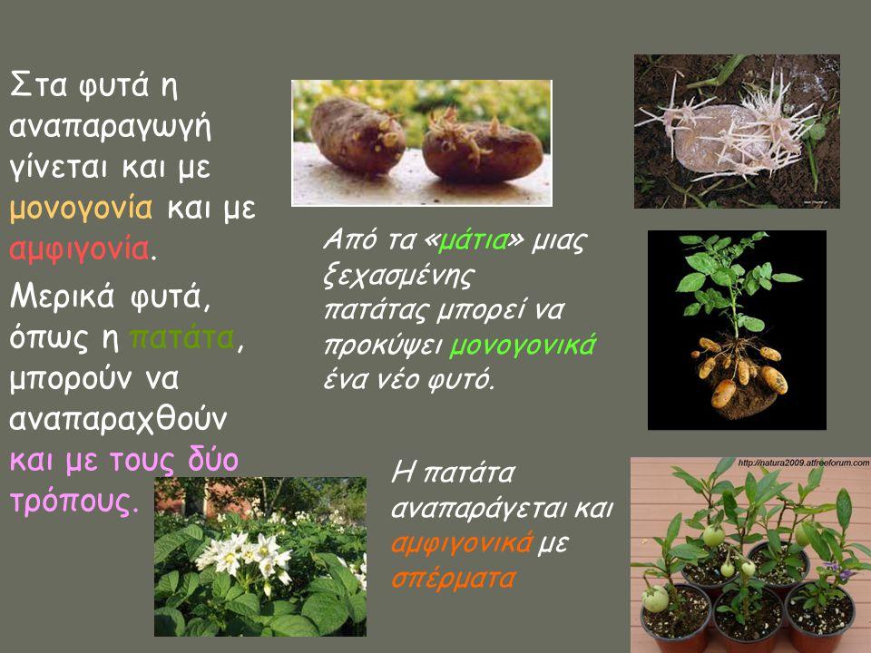 Στα φυτά η αναπαραγωγή γίνεται και με μονογονία και με αμφιγονία.
