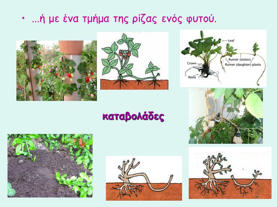 ...ή με ένα τμήμα της ρίζας ενός φυτού.