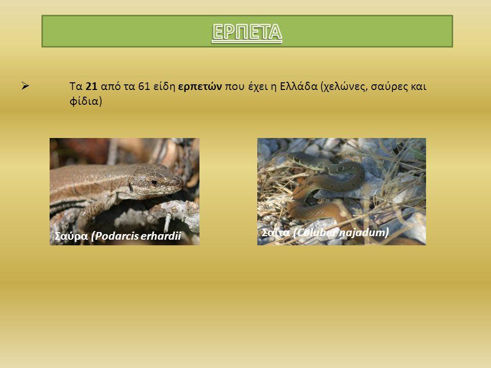 ΕΡΠΕΤΑ Τα 21 από τα 61 είδη ερπετών που έχει η Ελλάδα (χελώνες, σαύρες και φίδια) Σαΐτα (Coluber najadum)